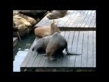 Морские котики из Сан-Франциско)